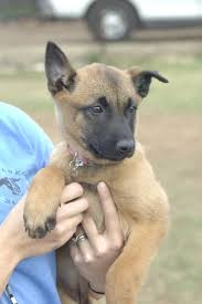 belgian sheepdog craigslist more harm than good 3 reasons why i never socialize my puppies