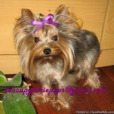 teacup yorkie haircuts pictures akc teacup yorkie adult male price 1 200 for sale in san
