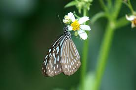 light blue butterfly on white flower photograph by