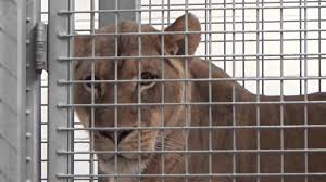Zoo Lights Denver Co by Denver Zoo Predator Ridge Youtube
