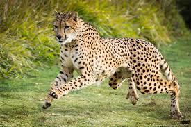 san diego safari park cheetah run mark shimazu photography