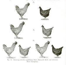 genetics mendelian diagram chicken poster wall art pinterest