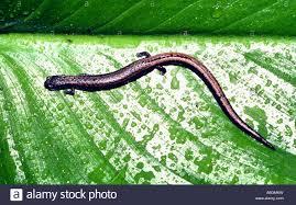 California Backyard California Slender Salamander Batrachoseps Attenuatus In San Stock