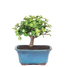 jade bonsai tree easy care indoor beginner low light
