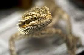 types bearded dragon bearded dragon care