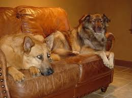 Distressed Leather Armchairs Dogs And Leather Furniture More Questions