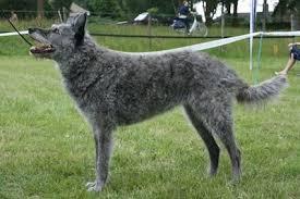 belgian shepherd short hair dutch shepherd dog breed information and pictures