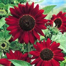 best 25 sunflower seedlings ideas on pinterest planting
