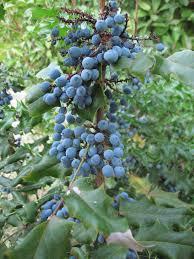 plants native to north america oregon grape blinging the yard pinterest oregon grape
