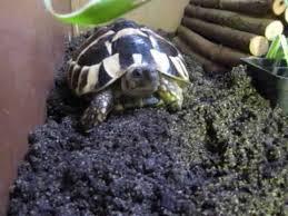 Tortoise Bedding Hermann Tortoise Substrate Featuring Ormond Youtube