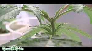 Recovering Cannabis Plants From High update on topped plant week 3 youtube