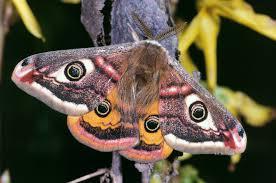 sino korean owl moth brahmaea certhia fairy butterflies