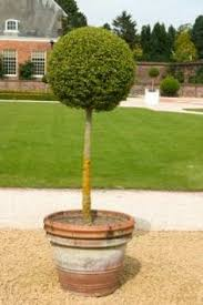 Topiary Cloud Trees - topiary love the cloud trees topiaries hedges and