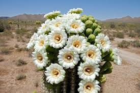 arizona flowers some beautiful plant in arizona album on imgur