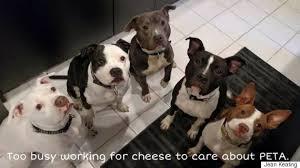american pitbull terrier z hter deutschland dear peta dogs respond to peta joining terrible anti pit bull