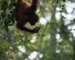Jungle Home Decor Orangutan Photography Home Decor Exotic Animal Endangered