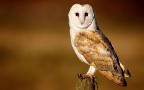 What Does A Barn Owl Look Like Barn Owl Habitat Diet U0026 Reproduction Reptile Park