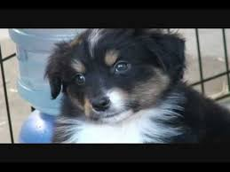 australian shepherd vocal puppy time everyone meet helix miniature australian