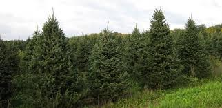 badger evergreen farms inc wholesale evergreen trees wreaths