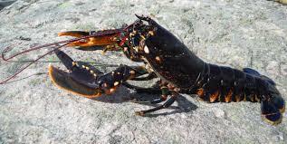 cuisiner homard vivant homard breton vivant ou cuit marée