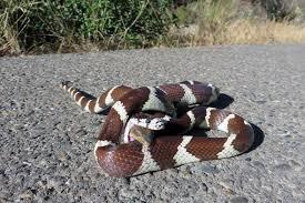 in photos california kingsnake u0027s lizard lunch fights back