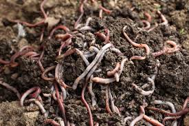 Composting Pictures by Vermicomposting Worm Types U2013 What Are The Best Worms For Compost Bin