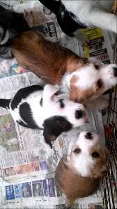 bichon frise puppy 8 weeks 8 week old bichon x staff cross puppies youtube
