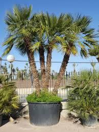 mediterranean fan palm tree chamaerops humilis palm trees mediterranean fan palm from palm farm