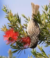striped honeyeater inland e australia my backyard birds