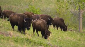 Indiana wildlife images Conserving bison in indiana yes indiana cool green science jpg