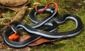 Found A Snake In My Backyard Thailand Venomous Snake Photos Thailandsnakes Com
