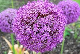allium flowers allium giganteum