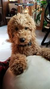 Do Cockapoo Dogs Shed A Lot by The 25 Best Cockapoo Grooming Ideas On Pinterest Cocker Poodle