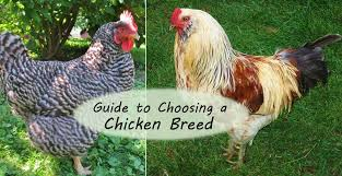 what chicken breeds are good for meat with best backyard chickens