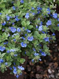 best 25 blue plants ideas on pinterest blue garden blue