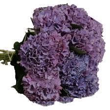 Purple Hydrangea Hydrangeas Archives Virgin Farms