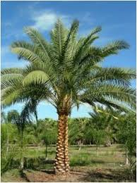 sylvester palm tree sale buy sylvester palm trees in ta riverview apollo