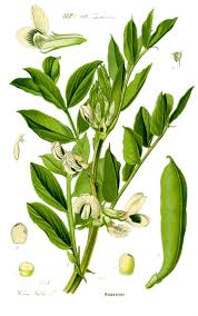 Plant Diseases Wikipedia - vicia faba wikipedia