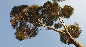 eucpalyptus it is san diego reader