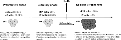 endometrial nk cells are special immature cells that await