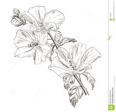 hawaiian flower sketches hand drawing hibiscus flower royalty