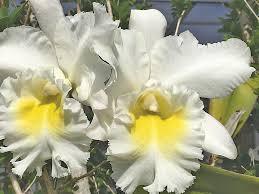 cattleya orchids cattleya orchids coastal news