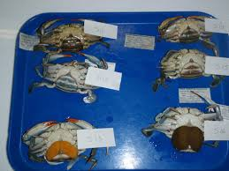 blue crab blog 2015