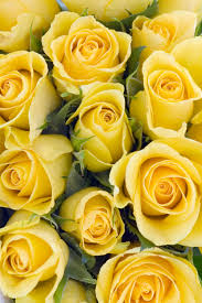 different color roses 14 color meanings what do the colors of roses for