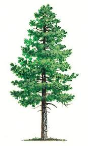 14 best in the pines images on pine pine tree and forests