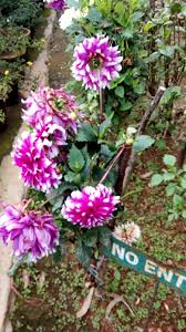 garden care simplified flower rose garden munnar flower show