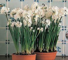 paperwhite flowers paperwhite ziva white flower farm flowers paperwhites mygen