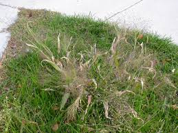 what is witchgrass tips for controlling witchgrass weeds
