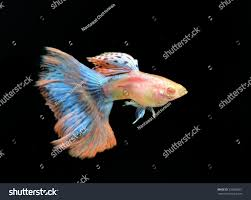albino red grass guppy isolated on stock photo 239638261