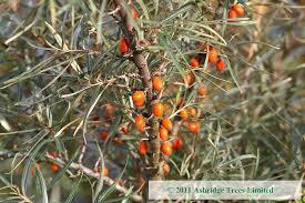 Online Fruit Trees For Sale - sea buckthorn hedging order online ashridge nurseries